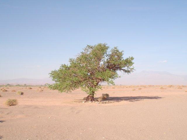 Paisagens do deserto - árvore solitária